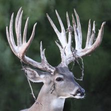 Big Rack Ranch Whitetail AI Sires - Bambi Saw Buck