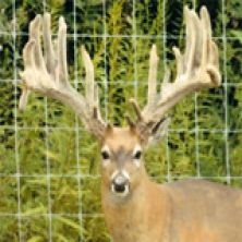 Big Rack Ranch Whitetail AI Sires - Reno