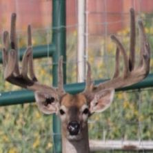 Big Rack Ranch Whitetail AI Sires - 2Wide's Hammer