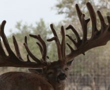 Big Rack Ranch Whitetail AI Sires - Gladiator XL