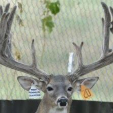 Big Rack Ranch Whitetail AI Sires - Monarch Supreme