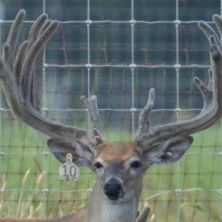 Big Rack Ranch Whitetail AI Sires - Ace of Blades