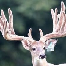 Big Rack Ranch Whitetail AI Sires - Double Down