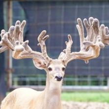 Big Rack Ranch Whitetail AI Sires - Freeze Frame