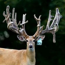 Big Rack Ranch Whitetail Breeder Bucks - Overnight Express