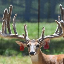 Big Rack Ranch Whitetail AI Sires - Off Limit