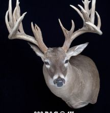 Big Rack Ranch Whitetail AI Sires - Bambi Prickly Pear