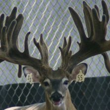 Big Rack Ranch Whitetail AI Sires - Bambi Rambo I