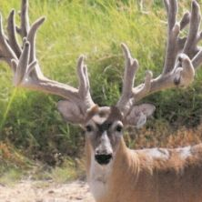 Big Rack Ranch Whitetail AI Sires - Bambi 20-28