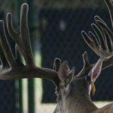 Big Rack Ranch Whitetail AI Sires - Big Bad Bob